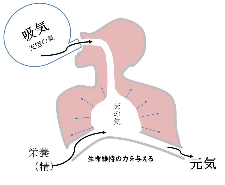 肺の役割の図
