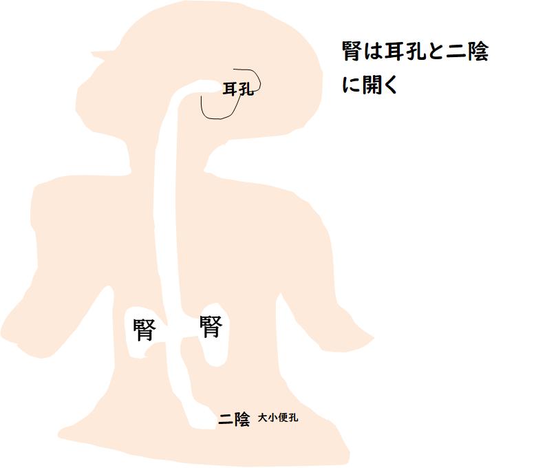 腎の開孔する図