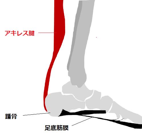筋腱複合体