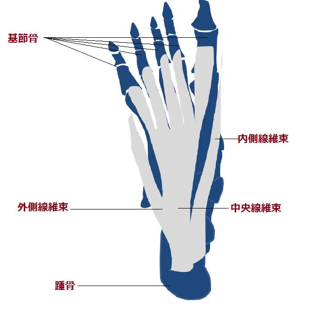 足底腱膜の詳細