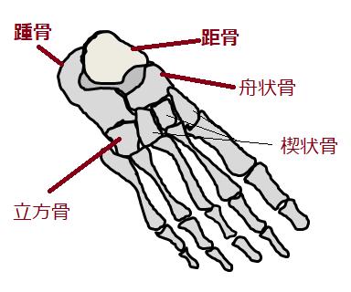 足根骨の絵