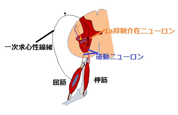 相反神経の図